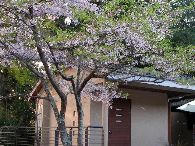 2008-yoshino-sakura45.JPG