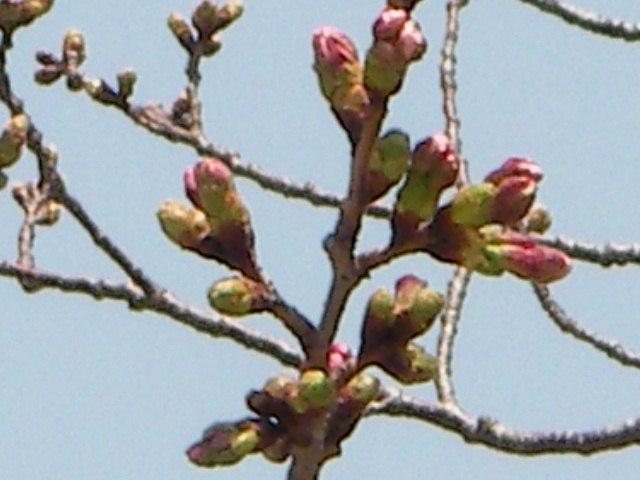 sakura-2006-1.JPG