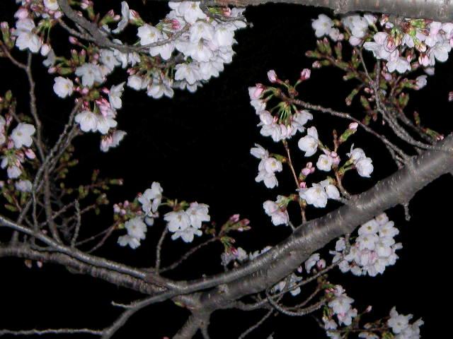 sakura-2006-11.JPG
