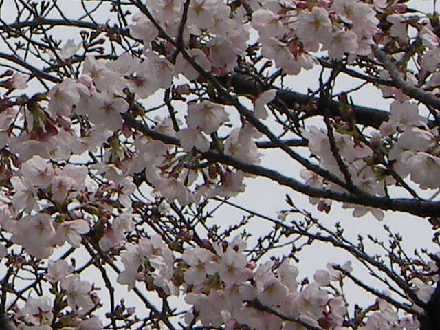 sakura-2006-12.JPG