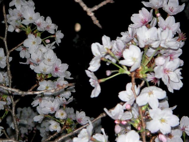 sakura-2006-17.JPG