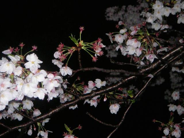 sakura-2006-24.JPG