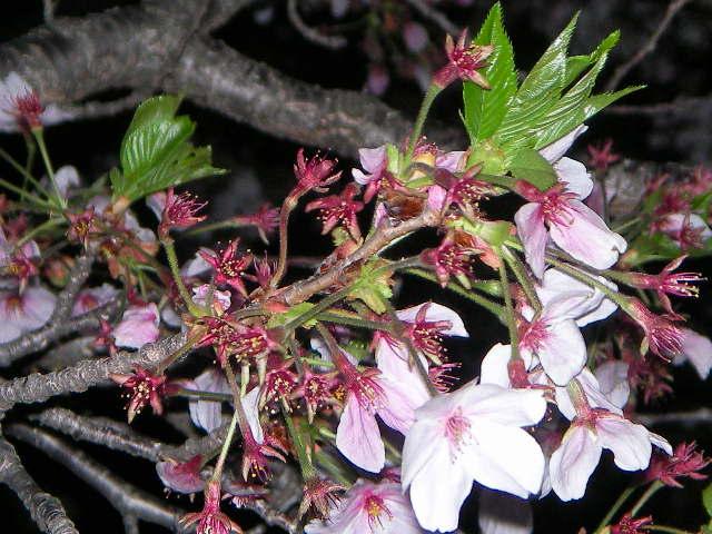 sakura-2006-27.JPG