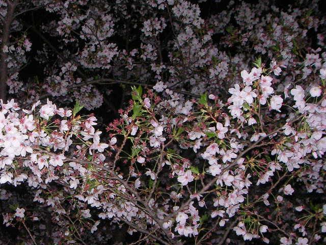 sakura-2006-28.JPG