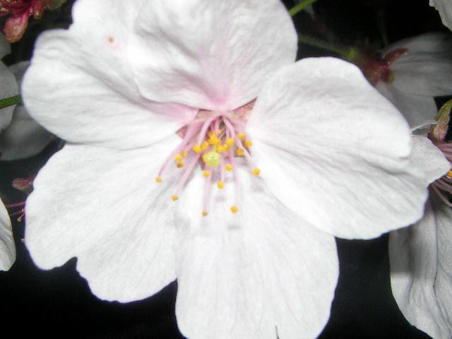sakura-2006-29.JPG