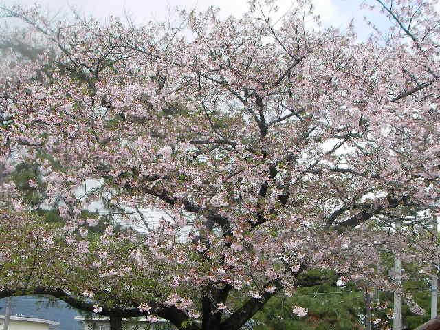 sakura-2006-30.JPG
