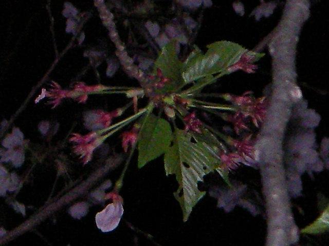 sakura-2006-32.JPG