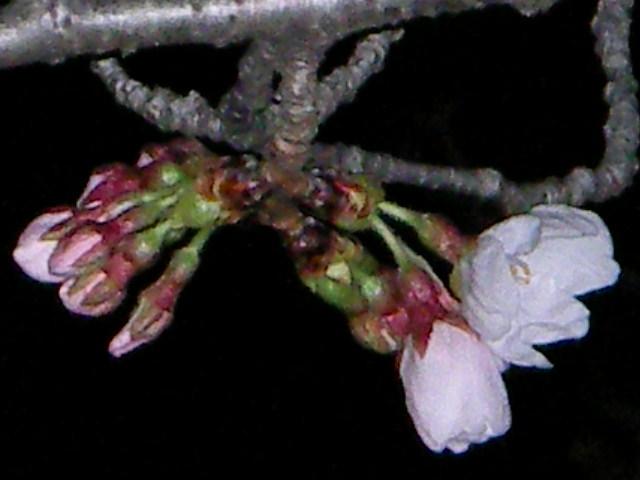 sakura-2006-4.JPG