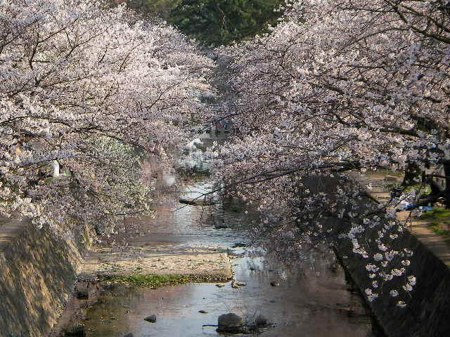 syukugawa-2006sakura-14.JPG