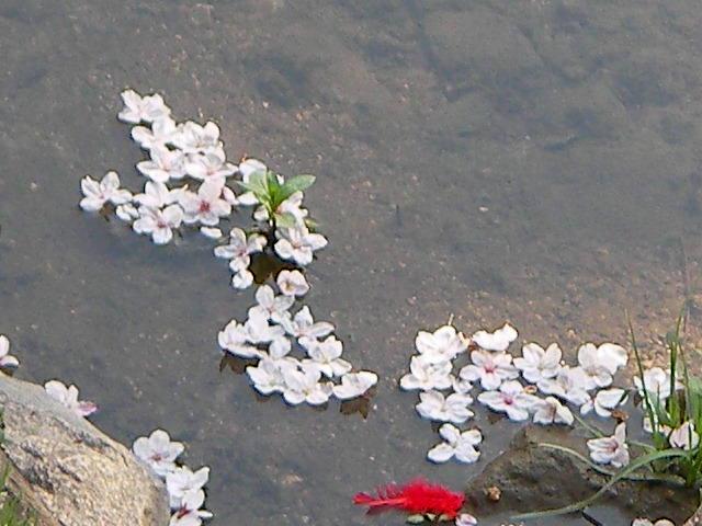 syukugawa-2006sakura-20.JPG