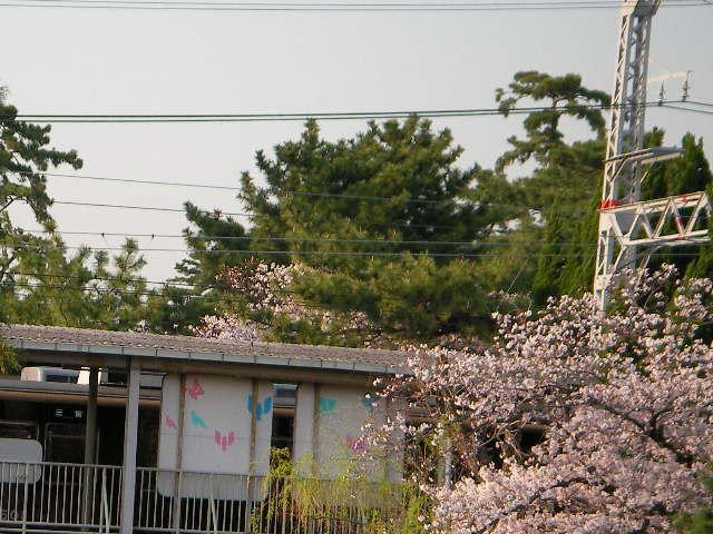 syukugawa-2006sakura-27.JPG