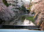 syukugawa-2006sakura-30.JPG