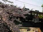 syukugawa-2006sakura-4.JPG