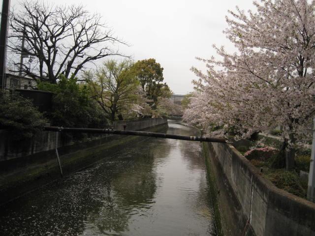11-nishi-sakura10.JPG