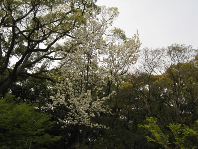 11-nishi-sakura9.JPG